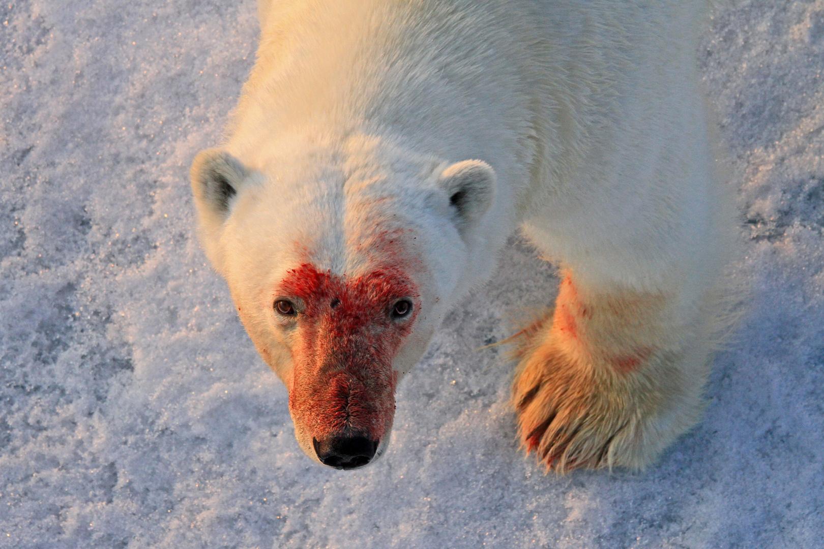 Eisbär, Noraustlandet, Spitzbergen