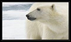 Eisbär Nummer 11 - Svalbard