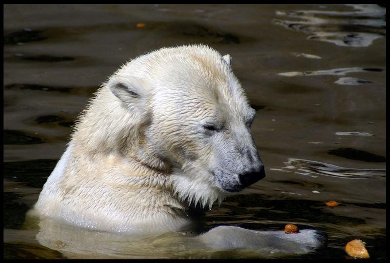 Eisbär spielt mit Walnuss