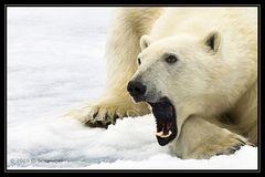 Eisbär - Svalbard
