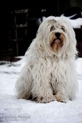 Eisbär - Tibet Terrier