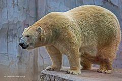 Eisbär Vitus