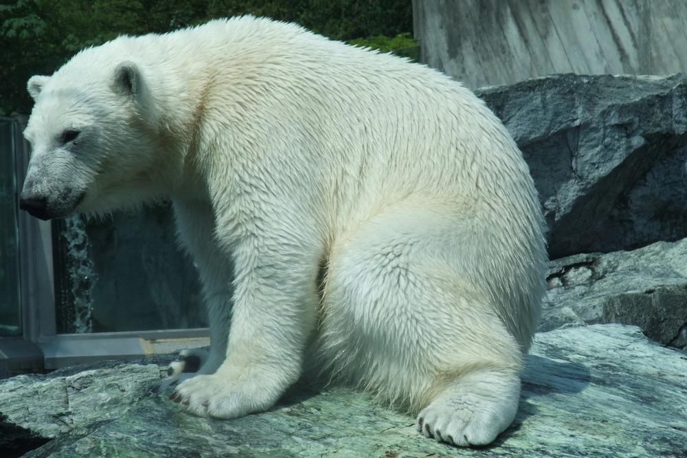Eisbär von Wilhelma Zoo