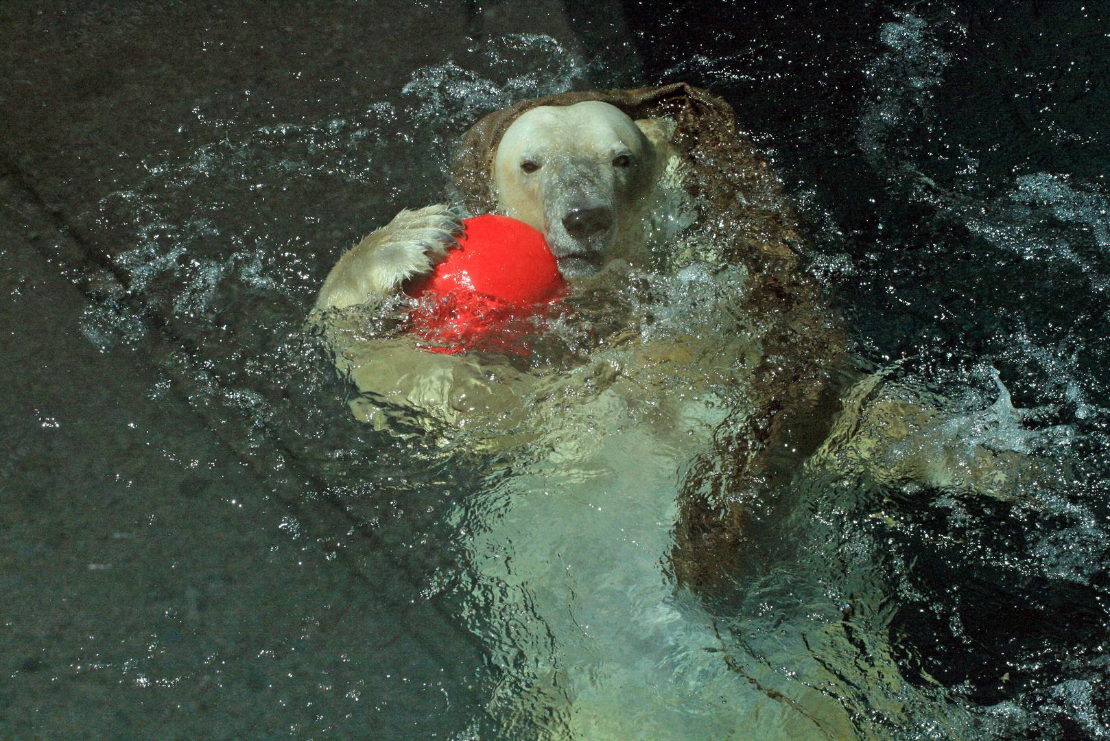 Eisbärdame aus dem Central Park Zoo