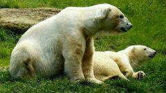 Eisbären im Urlaub