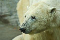 Eisbären-Mama