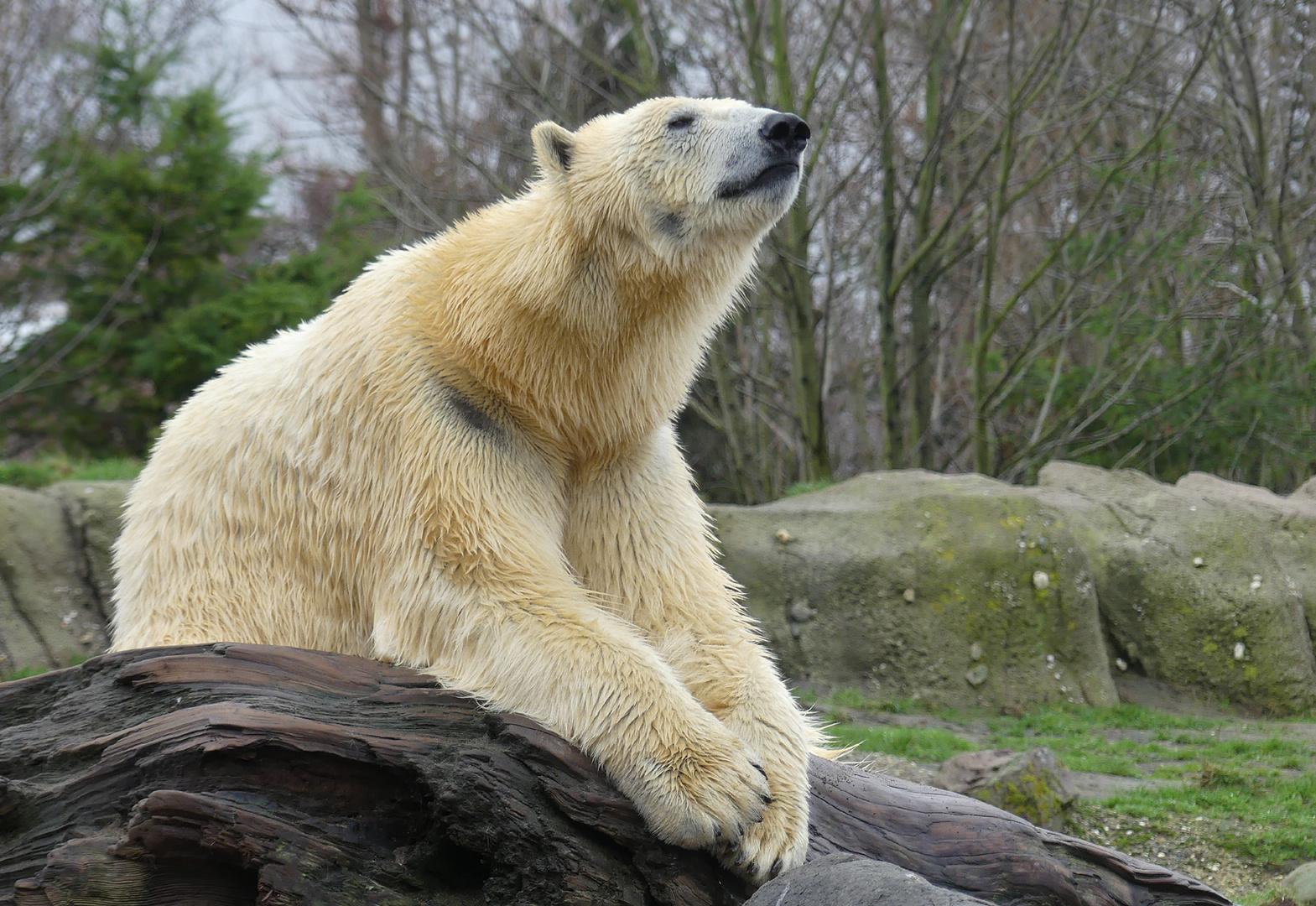 Eisbären-Meditation