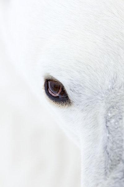 Eisbärenauge, Polar bear eye, Canada