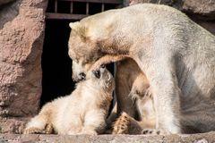 Eisbären:Spiel