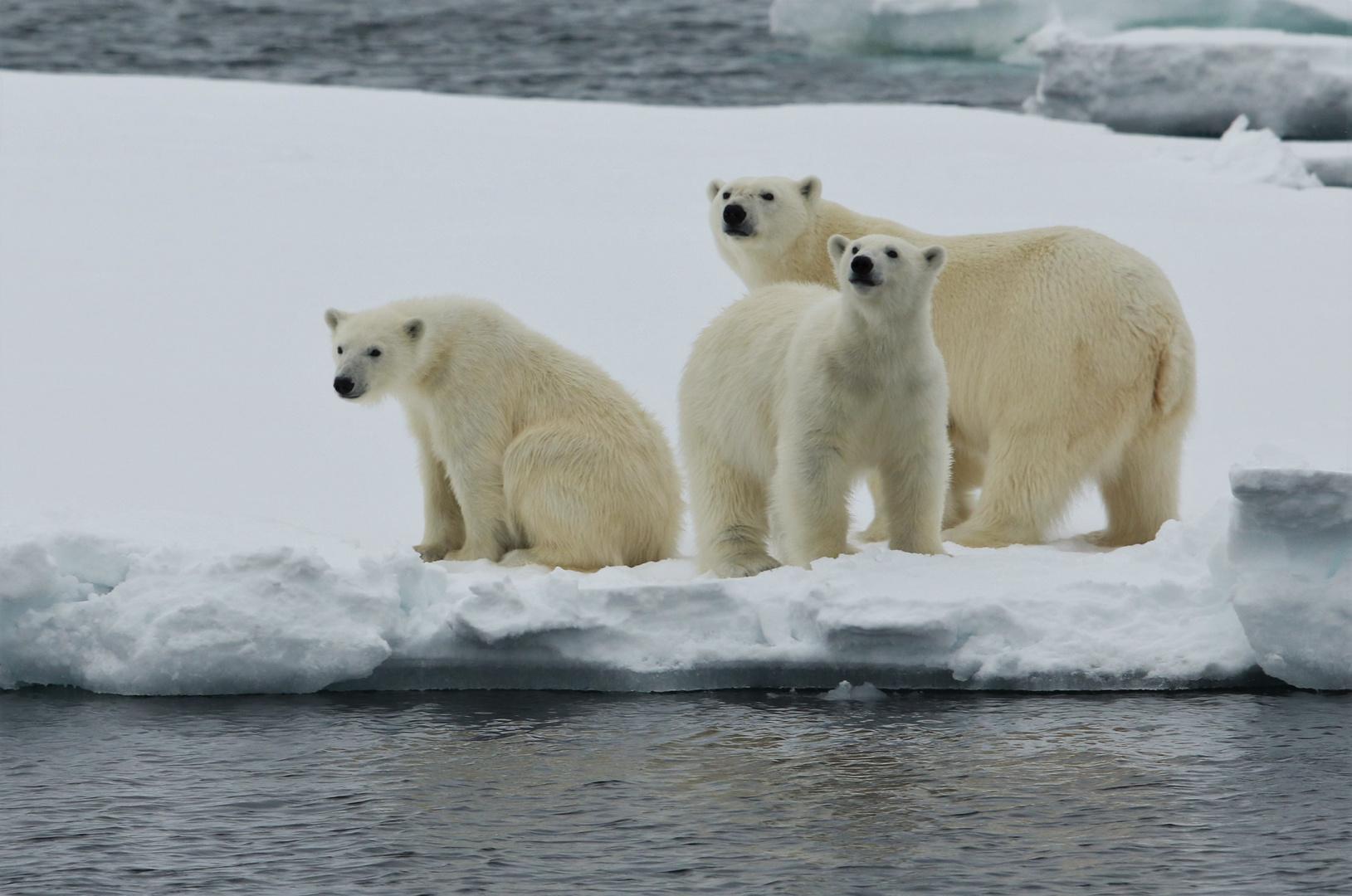 Eisbärmutter mit Jungen