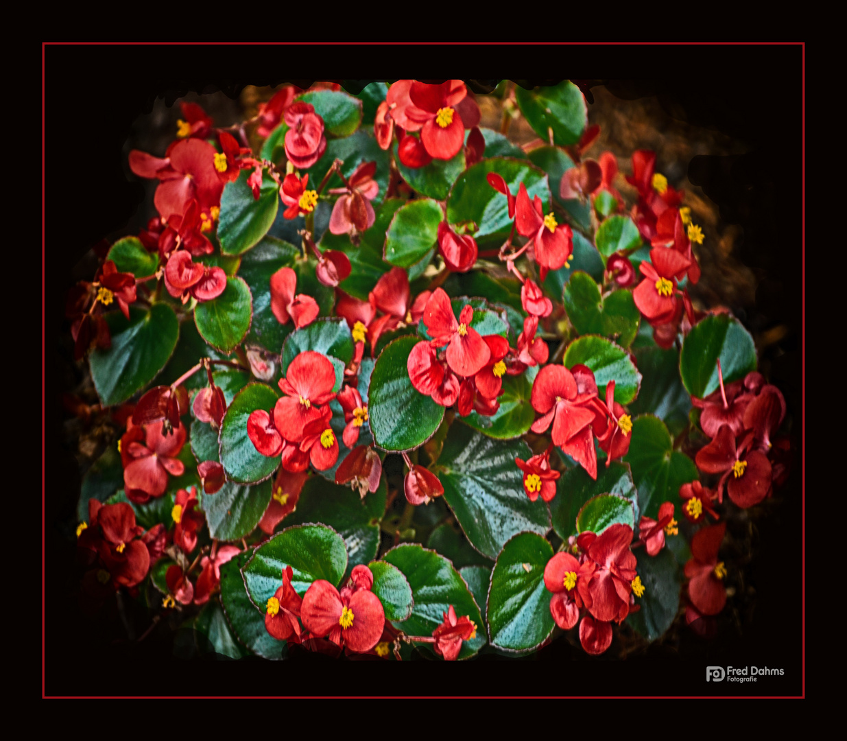 Eisbegonien (Begonia semperflorens) Foto & Bild   pflanzen