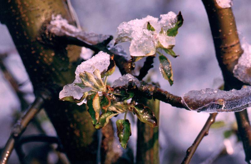 Eisblüte 1
