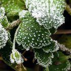 Eisblumen-Blumen