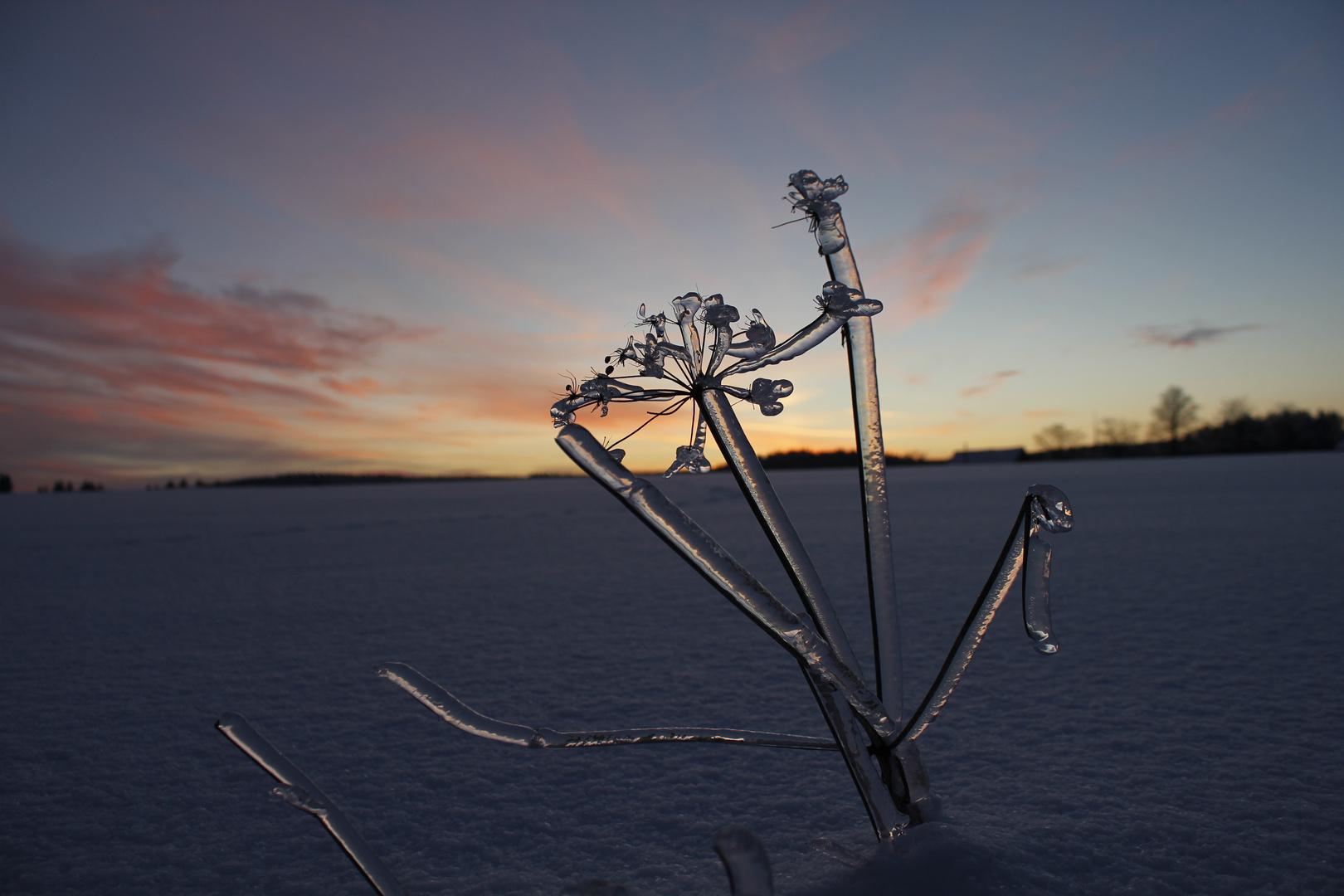 Eisblumen im Sonnenuntergang