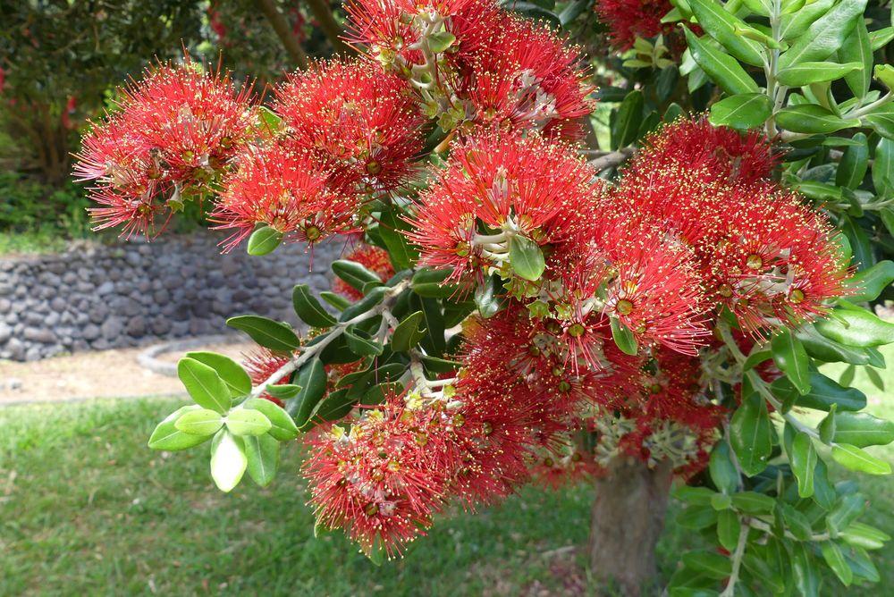 Eisenholzbaum-Blüten