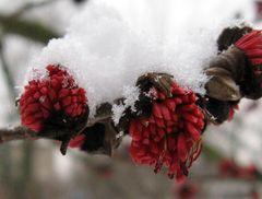 Eisenholzbaum im Schnee
