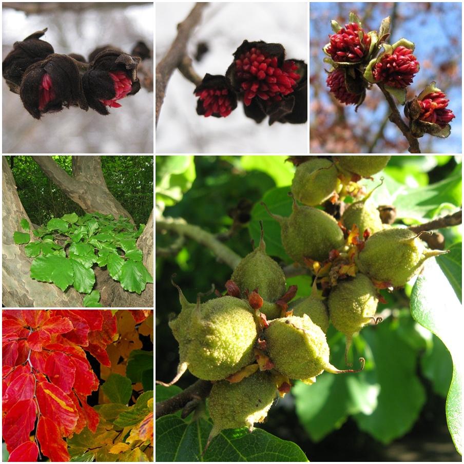 Eisenholzbaum Parrotia persica