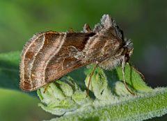 Eisenhut-Metalleule, Eisenhut-Höckereule (Euchalcia variabilis) - Plusie illustre.