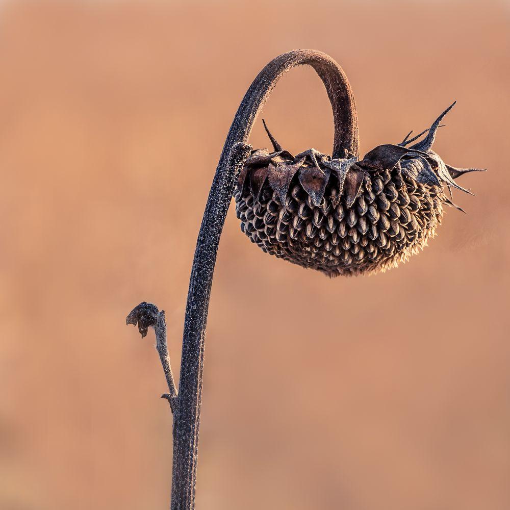 Eisige Sonnenblume