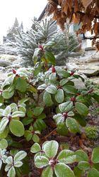 Eispflanze