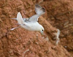 Eissturmvogel im Hangwind