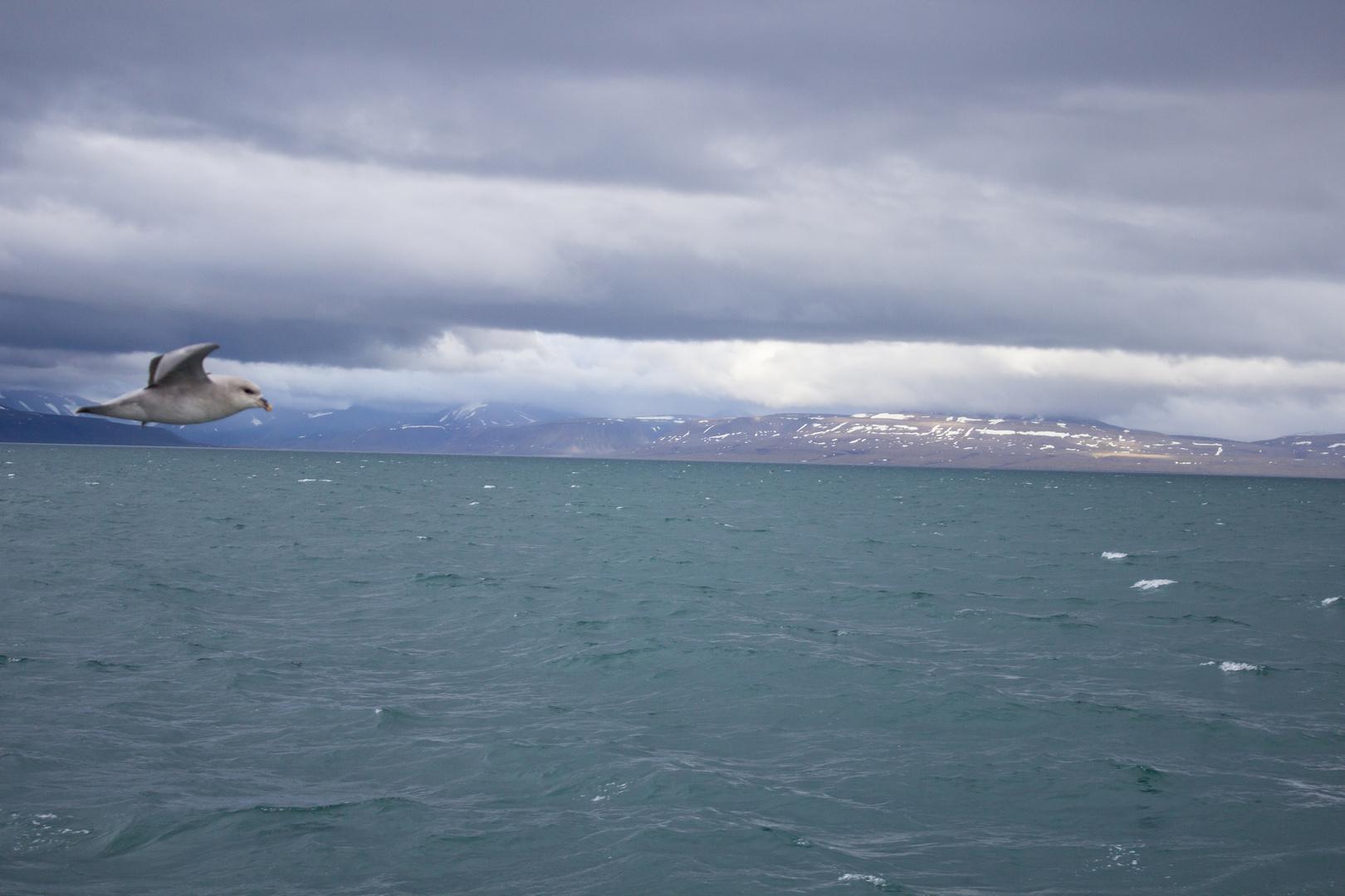 Eissturmvogel im Isfjorden auf der Insel spitzbergen