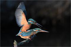 Eisvögel - Paarung