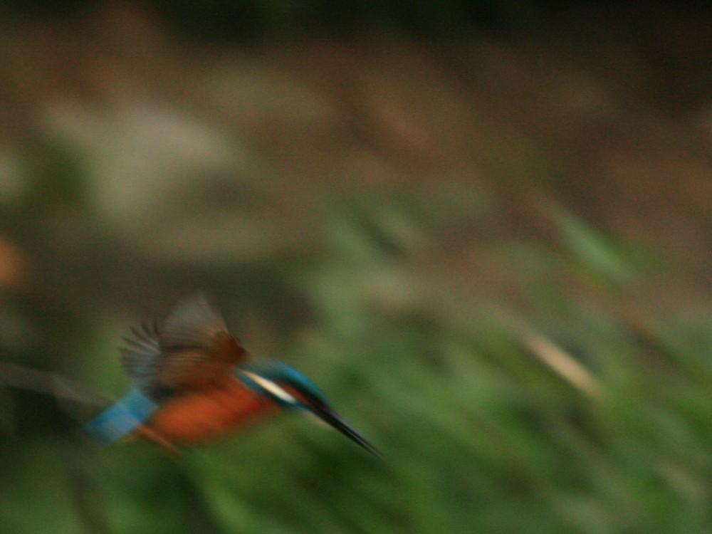 Eisvogel (1)