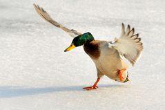 Eisvogel ;-)