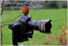 --- Eisvogel als Kameramann --- ( Alcedo atthis )