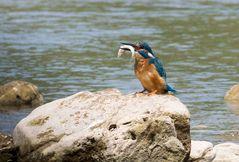 Eisvogel am Neckar