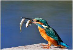 --- Eisvogel der Tauchgang hat sich gelohnt. ---