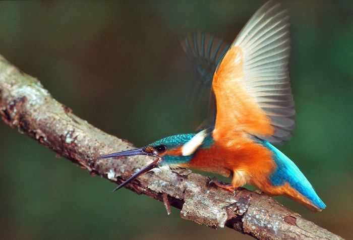 Eisvogel droht anfliegendem Artgenossen