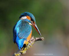 --- Eisvogel ihre Beute fest im Blick --- ( Alcedo atthis )
