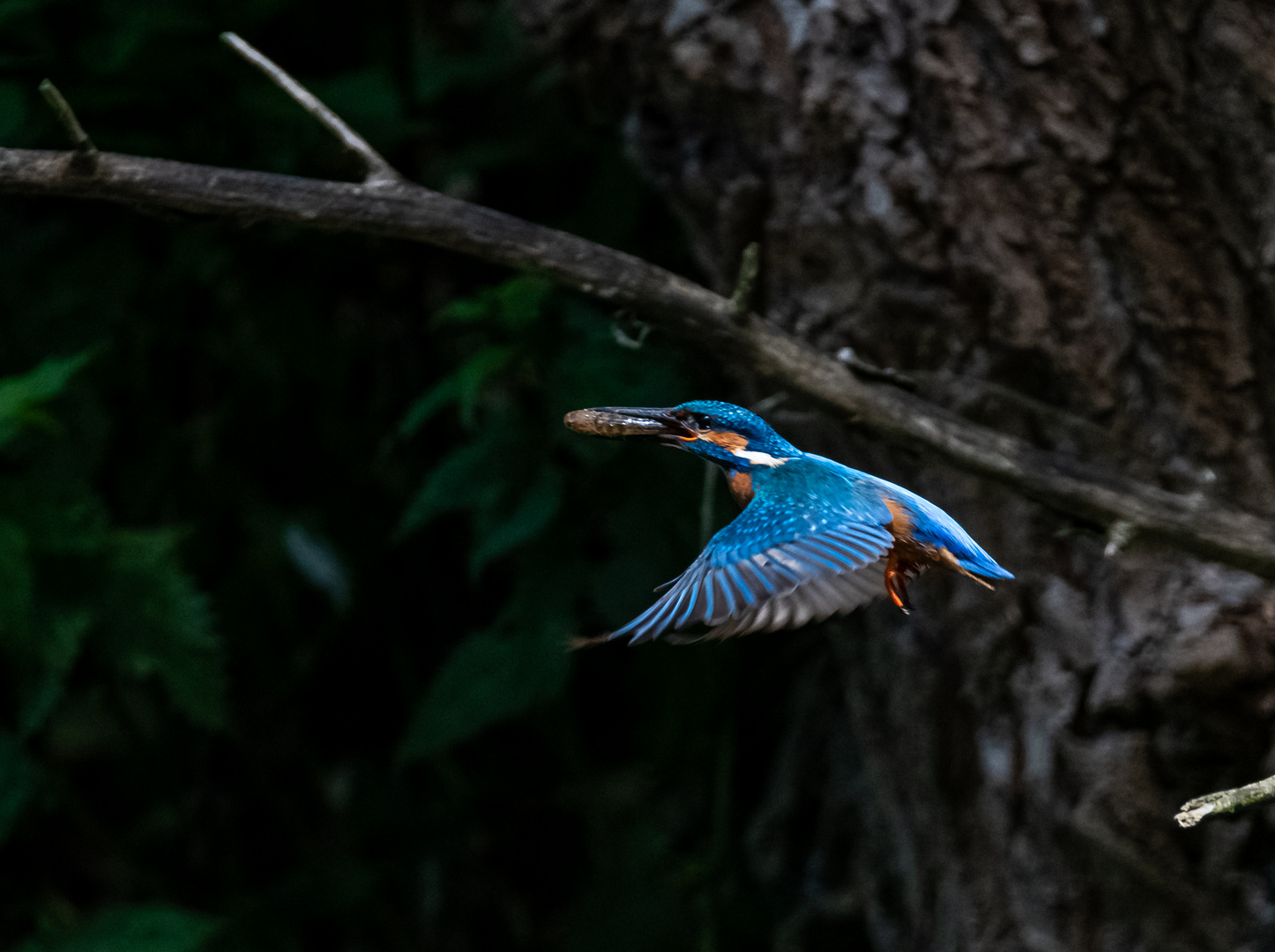 Eisvogel im Flug mit Fisch