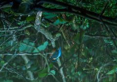 Eisvogel im Wasser