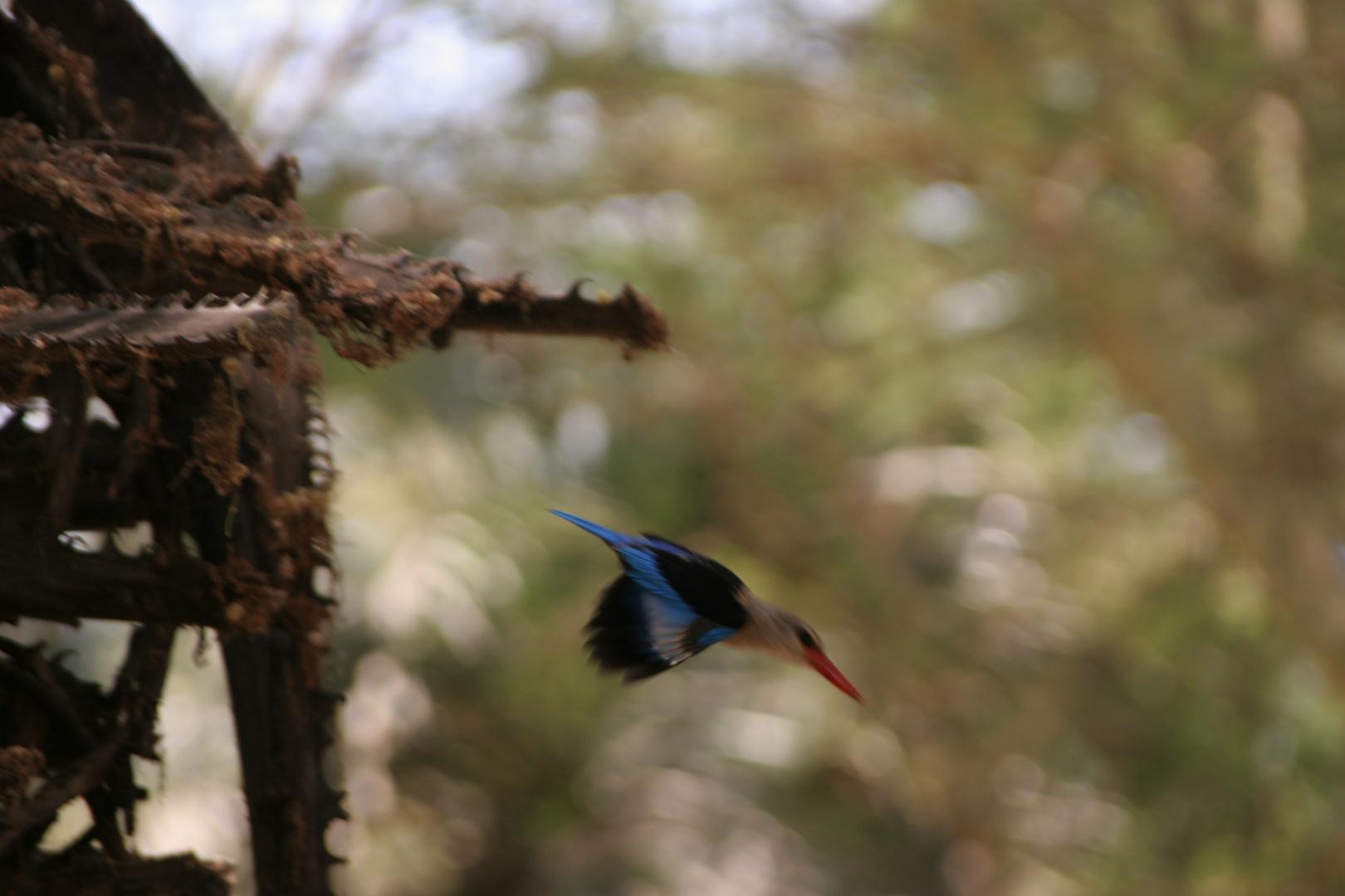 Eisvogel in Tansania