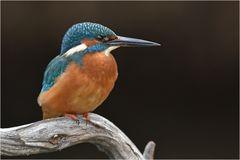 Eisvogel - Männchen