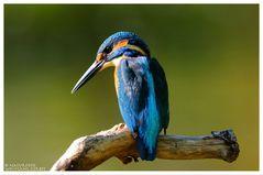 ----- Eisvogel männlich ------ ( Alcedo atthis )