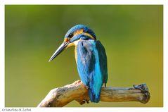 --- Eisvogel männlich ---- ( Alcedo atthis )