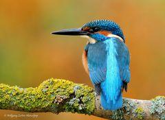 --- Eisvogel männlich --- ( Alcedo atthis )