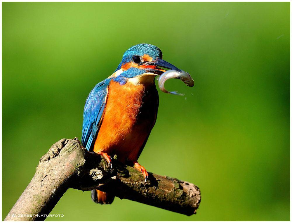 --- Eisvogel, männlich mit Beute ---  ( Alcedo atthis )