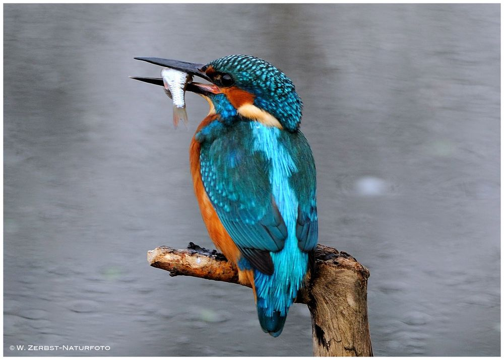 --- Eisvogel mit Beute --- ( Alcedo atthis )