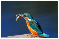 ---- Eisvogel mit Beute ---- ( Alcedo atthis )