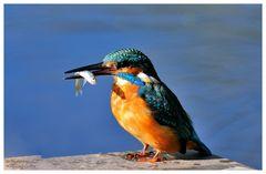 --- Eisvogel mit Beute --- ( Alceto atthis )