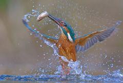 Eisvogel mit Beute