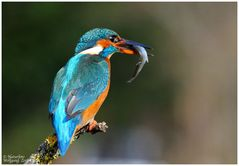 --- Eisvogel mit Beute Nr. 6 --- ( Alcedo atthis )