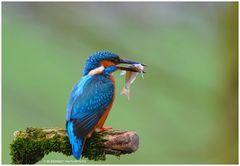 --- Eisvogel nach erfolgreicher Jagd --- ( Alcedo atthis )