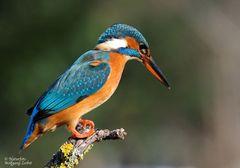 --- Eisvogel Nr. 1 ---(Alcedo atthis )