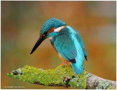 --- Eisvogel Nr. 2 --- ( Alcedo atthis )